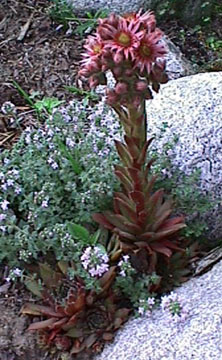 Hens and chicks in bloom